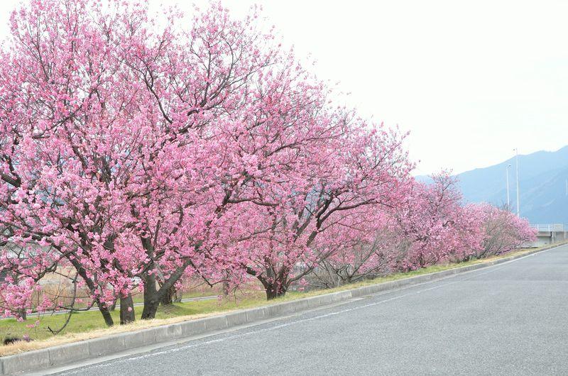 2016.03.12 横河原の陽紅桜 102